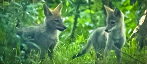 coyote_post.jpg