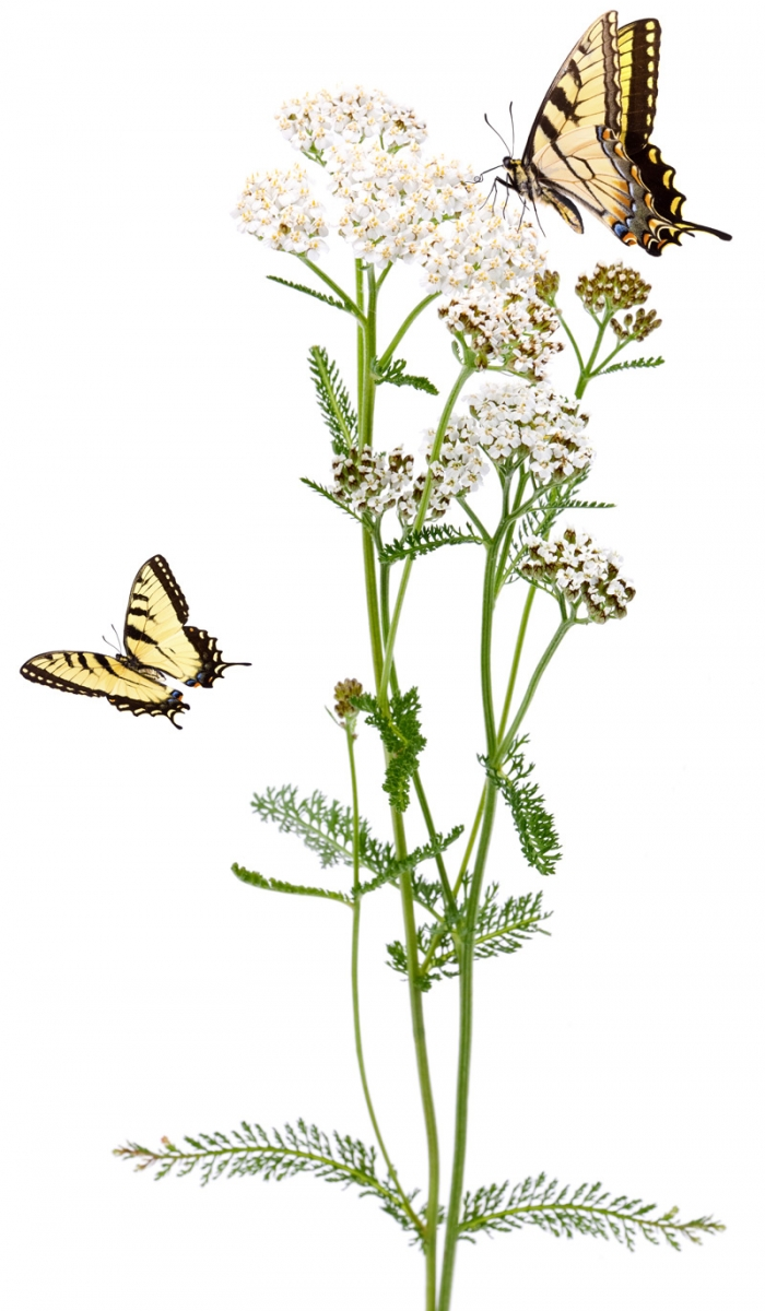 yarrow and swallowtail butterflies