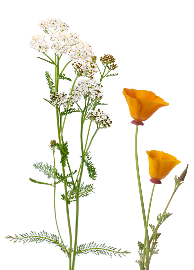 yarrow and california poppy