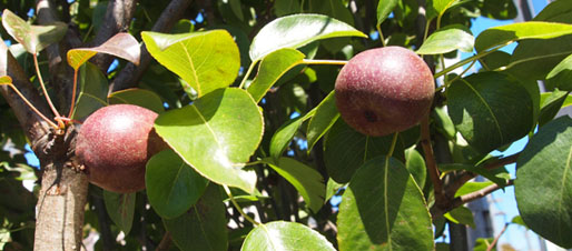 A.Prunus x domestica leaves and fruit (photo credit: FUF)
