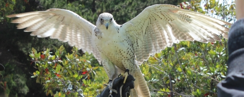 Pictured is a bird of prey named Pearl. Pearl flies above Recology to scare away the seagulls.