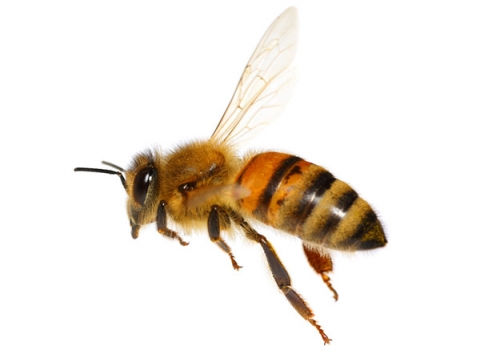 photo of bee flying