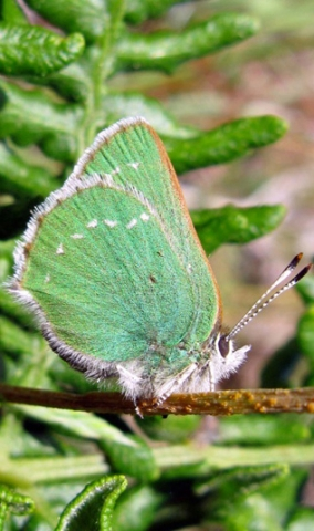 Photo of the Green Hairstreak butterfly