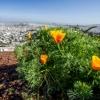 Golden Poppy flowers overlooking San Francisco city landscape